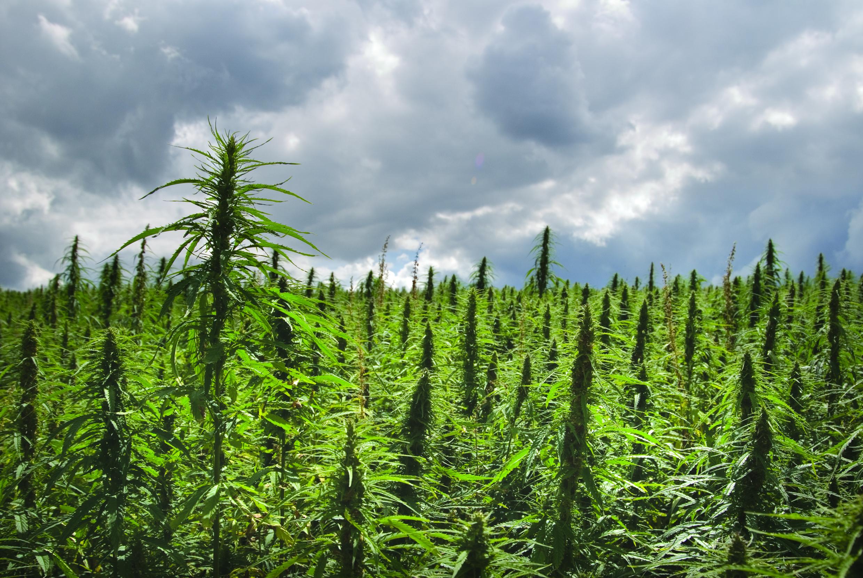 crop-hemp